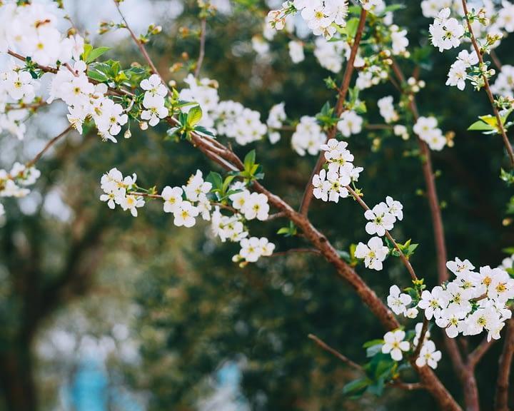 blooming cherry tree in fragrant garden