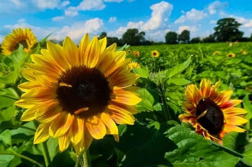 lacock sunflower picking