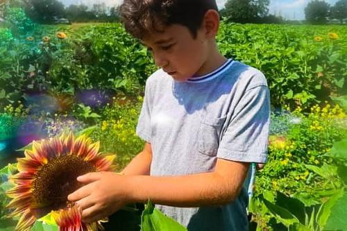 lacock sunflowers
