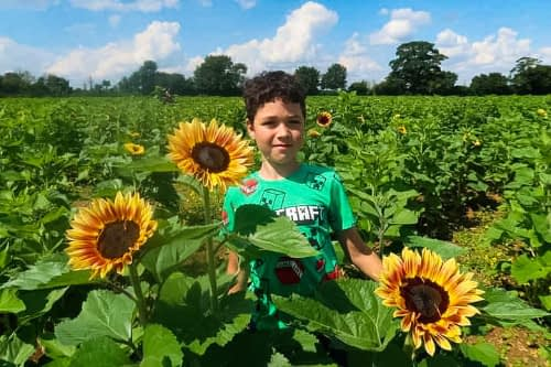 sunflower picking uk